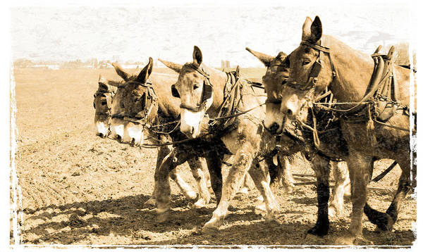 Photograph - Mule Teamed by Alice Gipson