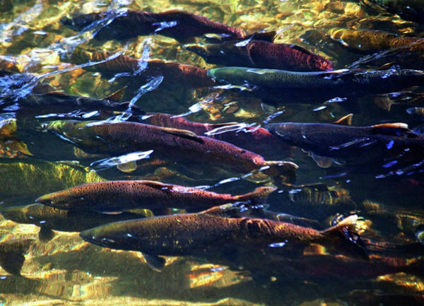 Chinook Salmon Photograph - Multi-colored, Coho, Sockeye by William Perry