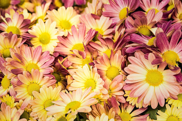 Photograph - Multi-colored Daisies by  Onyonet  Photo Studios