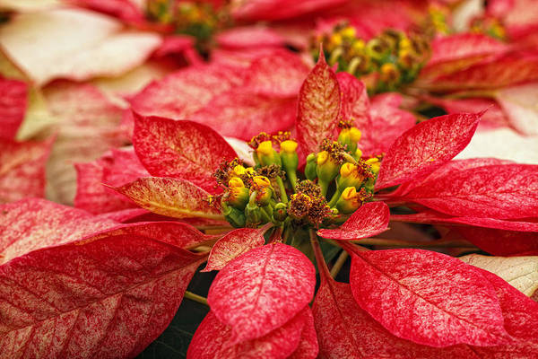 Photograph - Multi Colored Poinsettias by Donna Pagakis