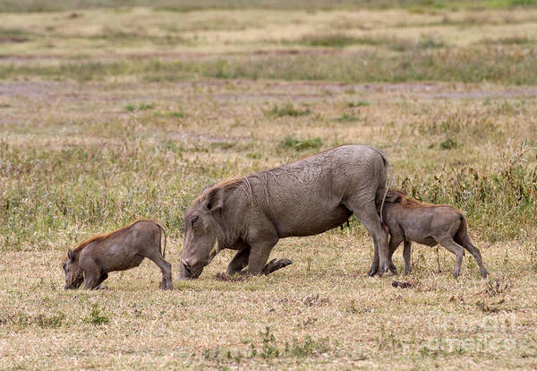 Photograph - Multi-tasking Warthog  by Chris Scroggins