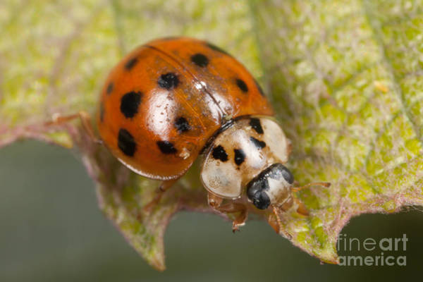 Photograph - Multicolored Asian Lady Beetle by Clarence Holmes