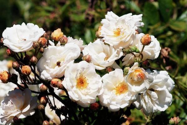 Rose In Bloom Photograph - Multiflora Rose (ghisliane De Fellgonde) by Brian Gadsby/science Photo Library