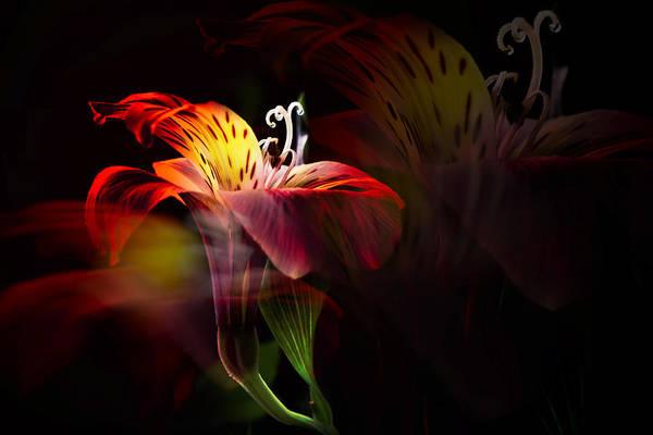 Alstroemeria Photograph - Multiplicity by Darlene Kwiatkowski