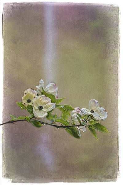 Photograph - Multnomah Falls Dogwood by Wes and Dotty Weber