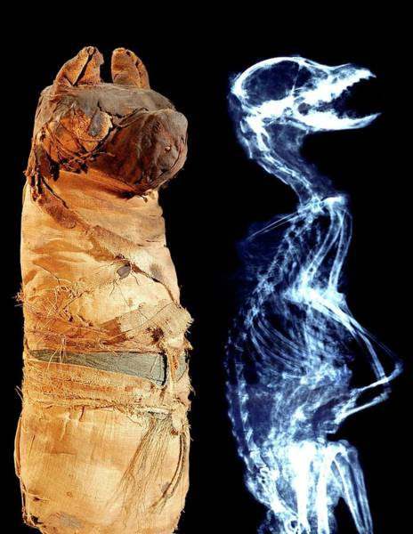 Mummy Wall Art - Photograph - Mummified Ancient Egyptian Dog And X-ray by Thierry Berrod, Mona Lisa Production/ Science Photo Library