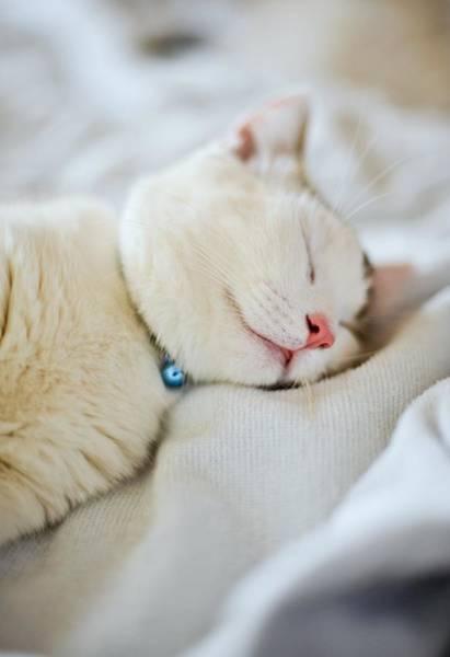 Okayama Prefecture Photograph - Munchkin Kitten Sleeping by Nazra Zahri