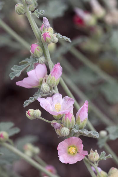 Sphaeralcea Munroana Photograph - Munros Globemallow by Hal Horwitz