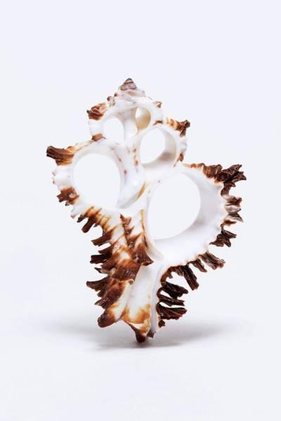Gastropod Wall Art - Photograph - Murex Marine Snail Shell by Kaj R. Svensson/science Photo Library