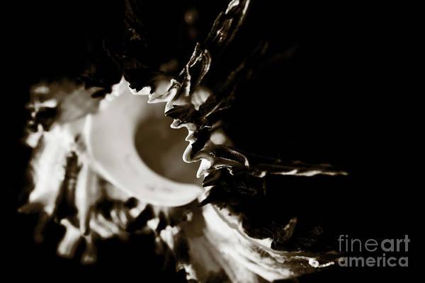 Photograph - Murex Shell - Sepia Tone by Charmian Vistaunet