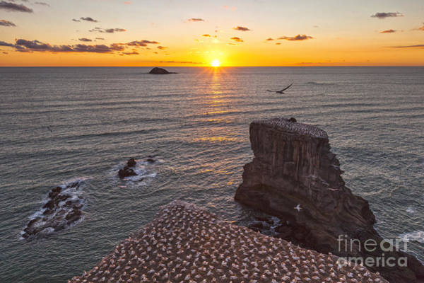 Auckland Photograph - Muriwai Gannet Colony At Sunset by Colin and Linda McKie