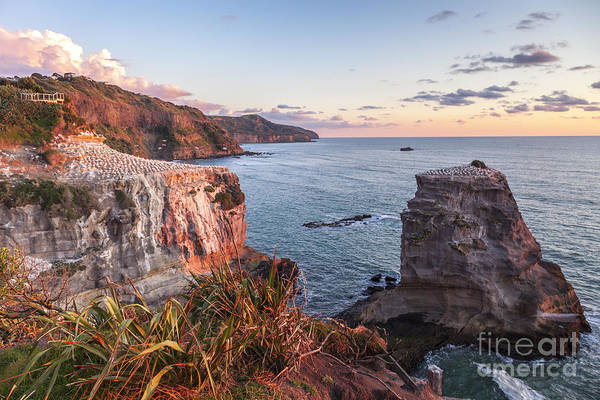 Auckland Photograph - Muriwai Gannet Colony Auckland New Zealand by Colin and Linda McKie