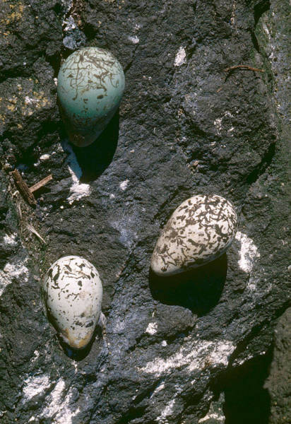 Wall Art - Photograph - Murre Eggs by H. C. Kyllingstad