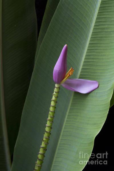 Photograph - Musa Ornata - Pink Ornamental Banana Flower - Kepaniwai Maui Hawaii  by Sharon Mau