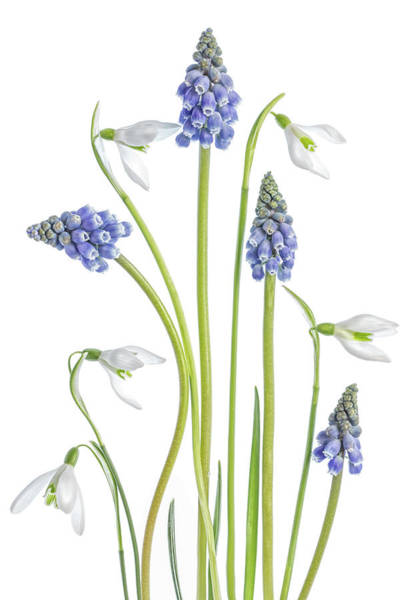 Wall Art - Photograph - Muscari And Galanthus by Mandy Disher