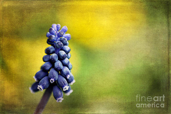 Wild Grape Photograph - Muscari by Darren Fisher