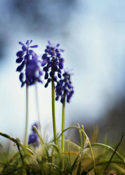 Photograph - Muscari by Rebecca Sherman