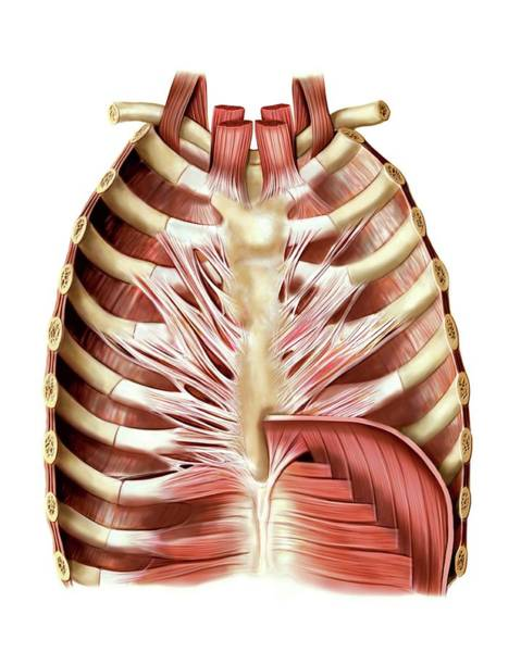 Muscles Of Anterior Thoracic Wall Art Print