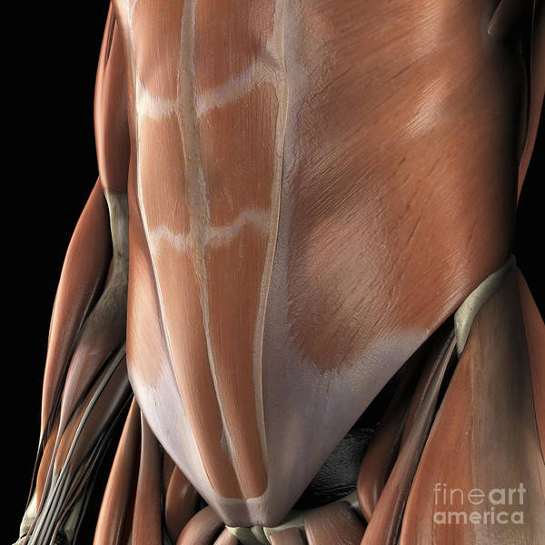 External Abdominal Oblique Photograph - Muscles Of The Abdomen by Science Picture Co