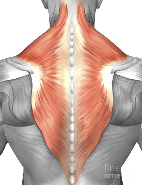 Muscle Tissue Digital Art - Muscles Of The Back And Neck by Stocktrek Images