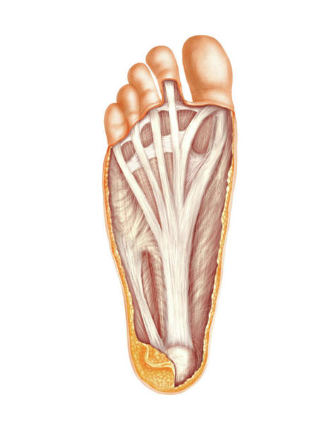 Atlas Of Human Anatomy Wall Art - Photograph - Muscles Of The Foot by Asklepios Medical Atlas