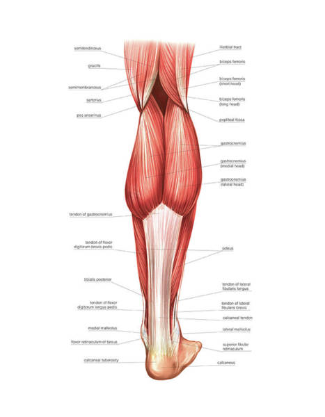 Anatomical Wall Art - Photograph - Muscles Of The Leg And Foot by Asklepios Medical Atlas