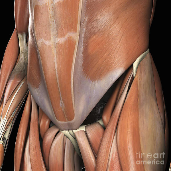 External Abdominal Oblique Photograph - Muscles Of The Lower Abdomen by Science Picture Co