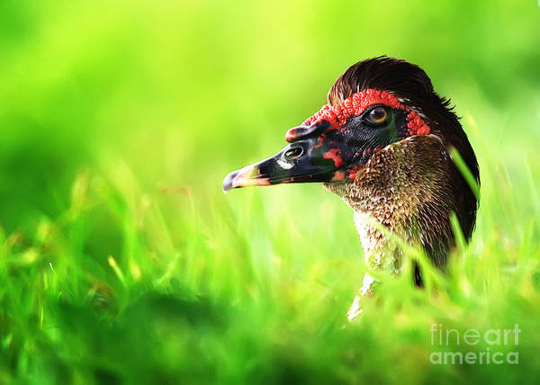 Muscovy Photograph - Muscovy Duck Playing Peek-a-boo by Katya Horner