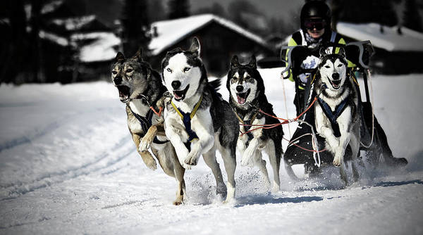 Sports Clothing Photograph - Mushing by Daniel Wildi Photography