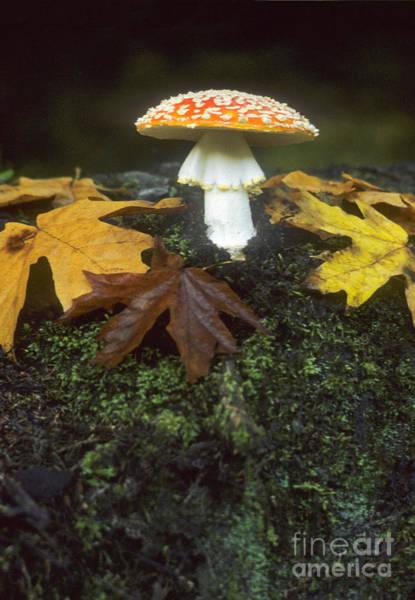 Photograph - Mushroom Amanita Muscaria by Richard and Ellen Thane