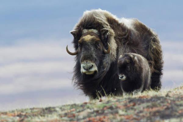 Wall Art - Photograph - Musk Ox With Calf by Ken Archer