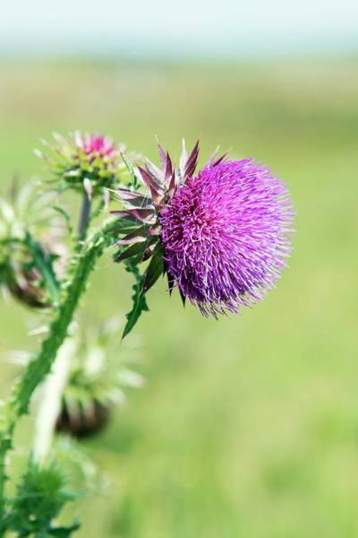Thistle Photograph - Musk Thistle (carduus Nutans) by Annie Haycock