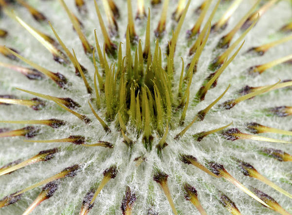 Thistle Photograph - Musk Thistle (carduus Nutans) by Nigel Downer