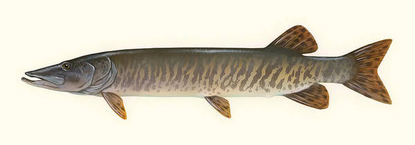 Gill Drawing - Muskellunge  by Mountain Dreams