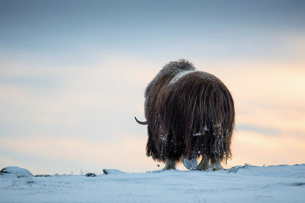 Wall Art - Photograph - Muskox Walking In A Winter Landscape by Raffi Maghdessian