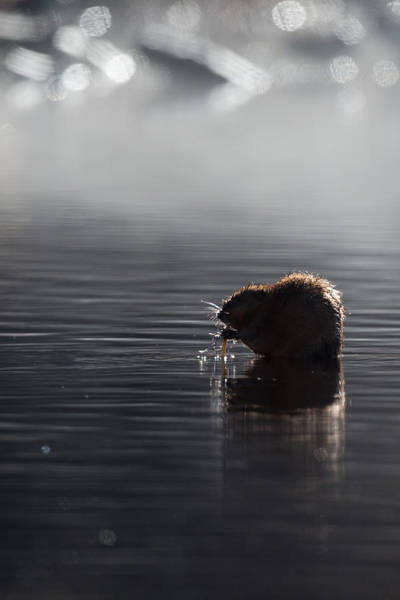 Photograph - Muskrat by Bill Wakeley