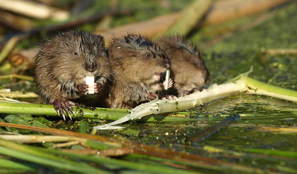 Photograph - Muskrat Trio by James Peterson