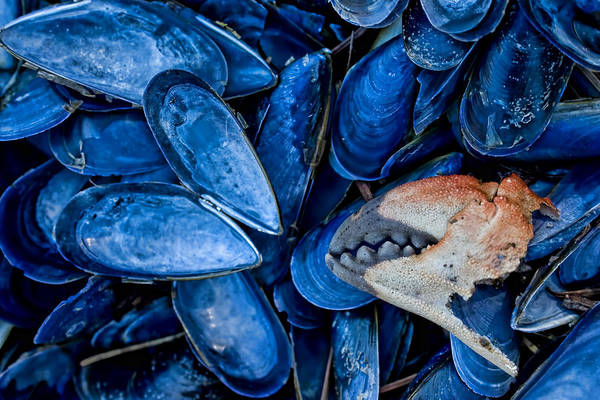 Photograph - Mussels And Crab Claw At Low Tide by Peggy Collins