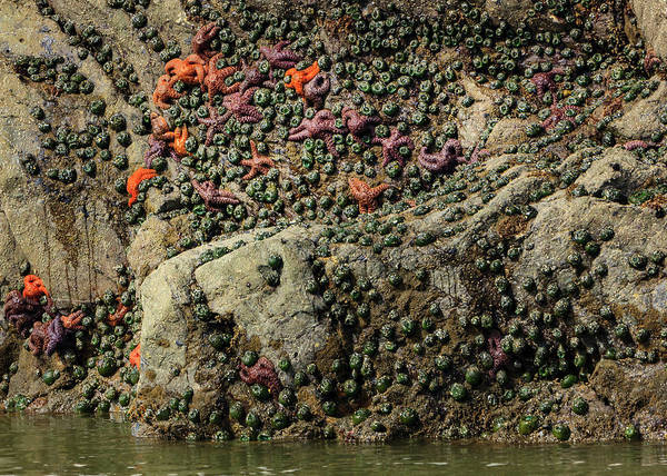 Mussel Wall Art - Photograph - Mussels And Sea Stars Clinging To Rock by Tom Norring