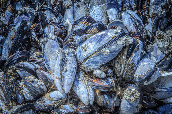 Photograph - Mussels In Blue  by Roxy Hurtubise