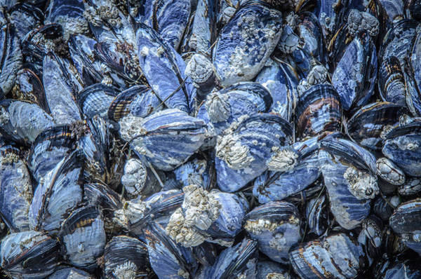 Photograph - Mussels In Beautiful Blue  by Roxy Hurtubise
