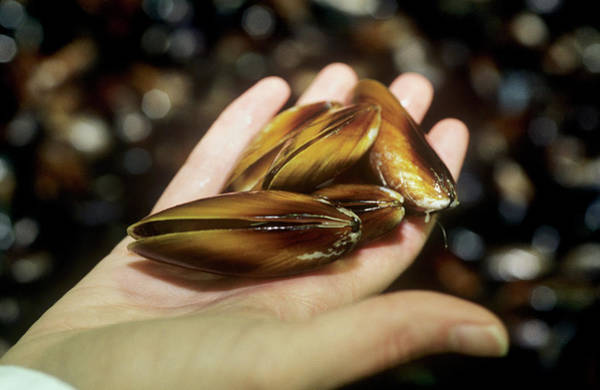 Mussel Wall Art - Photograph - Mussels by Louise Murray/science Photo Library