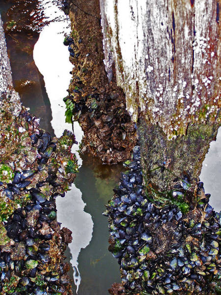 Photograph - Mussels On Pier by Jennifer Robin