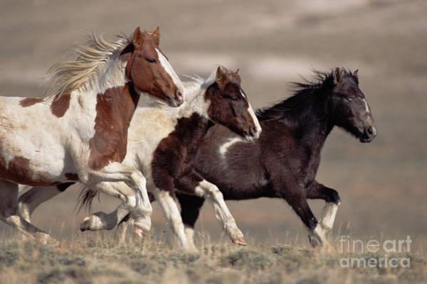 Photograph - Mustang Bachelor Stallions by Yva Momatiuk John Eastcott
