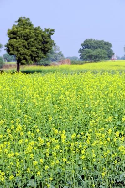 Mustard Photograph - Mustard Field by Tony Camacho/science Photo Library