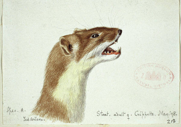 Weasel Wall Art - Photograph - Mustela Erminea by Natural History Museum, London