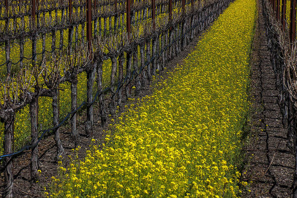 Mustard Photograph - Mustrad Grass In The Vineyards by Garry Gay