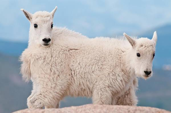 Fourteener Photograph - Mutant Two-headed Goat by Mike Berenson