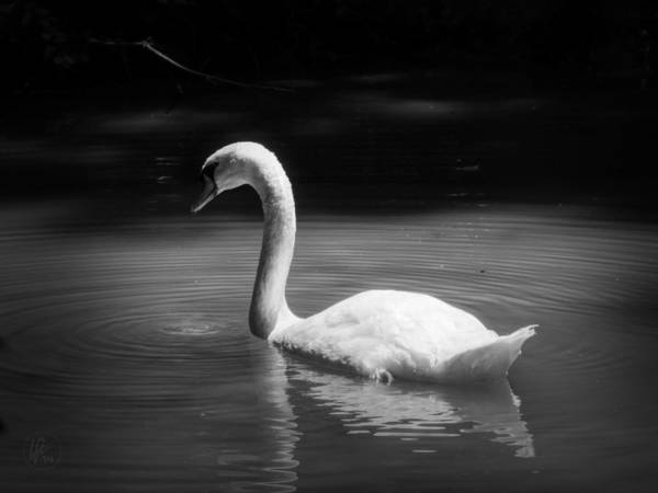 Photograph - Mute Swan 001 by Lance Vaughn