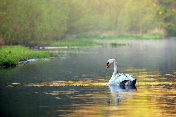 Mute Swan Photograph - Mute Swan by Alex Hyde